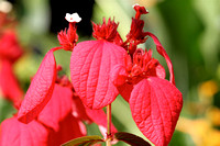 Tropical plant, red