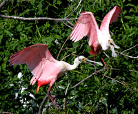 Roseate Spoonbill pair at rookery